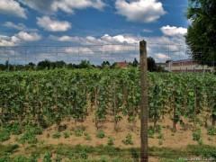 Vignes OGM Colmar.jpg